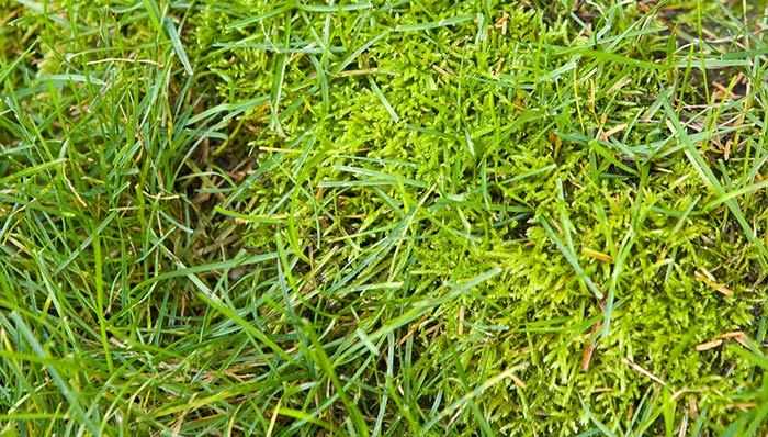 Stop moss from taking over your lawn.